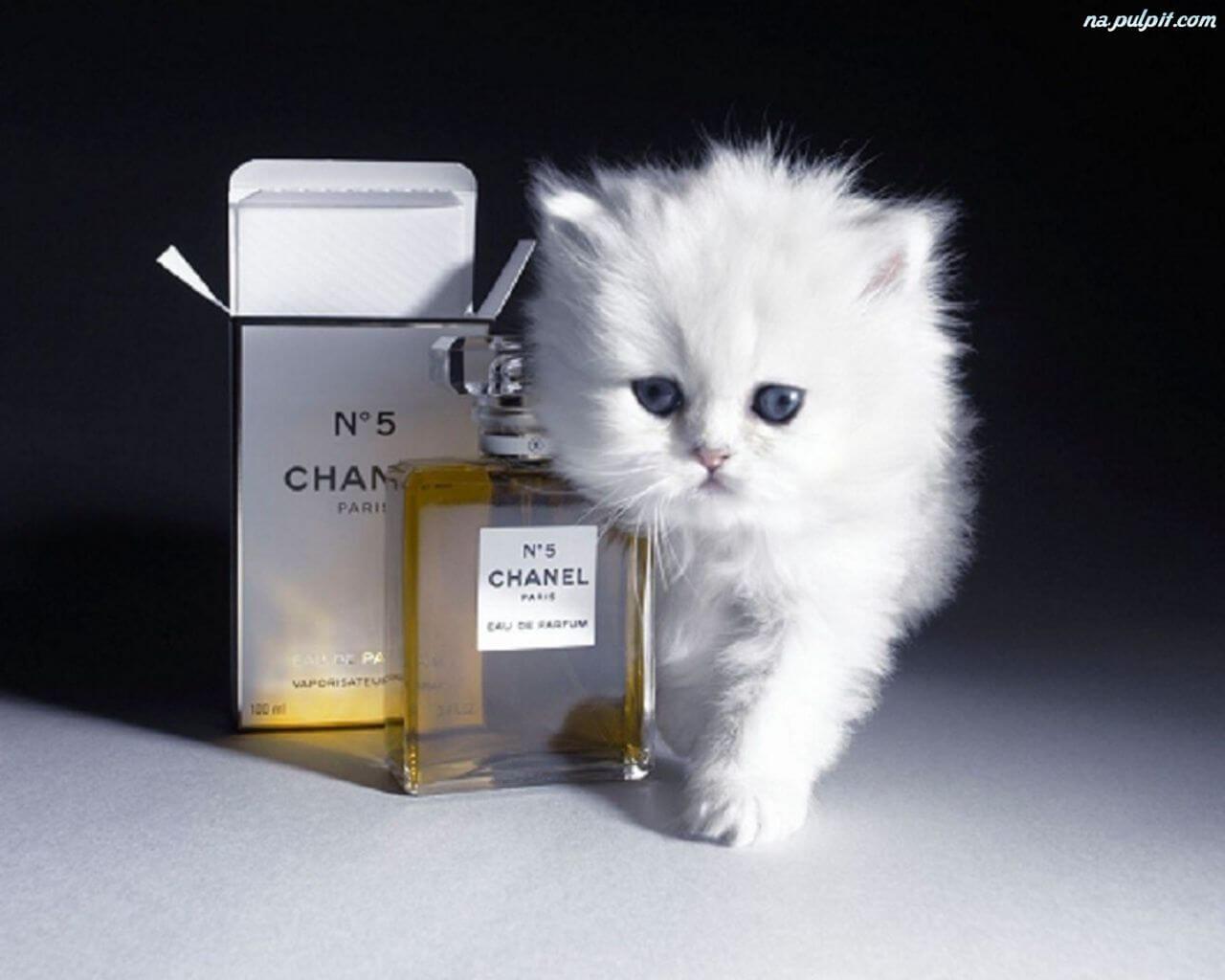 mały kot z perfumami Chanel