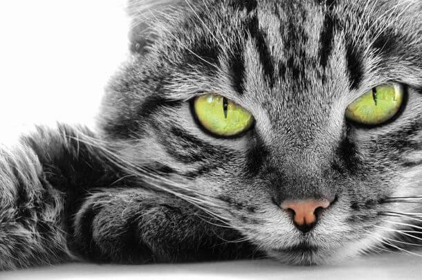 kot szary z uwodziecielskim spojrzeniem