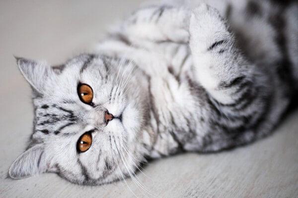 kot szary leżacy na plecach